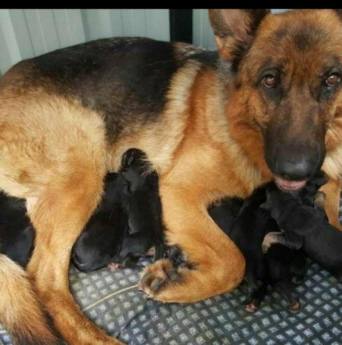 Cachorros Puros de Pastor Alemán