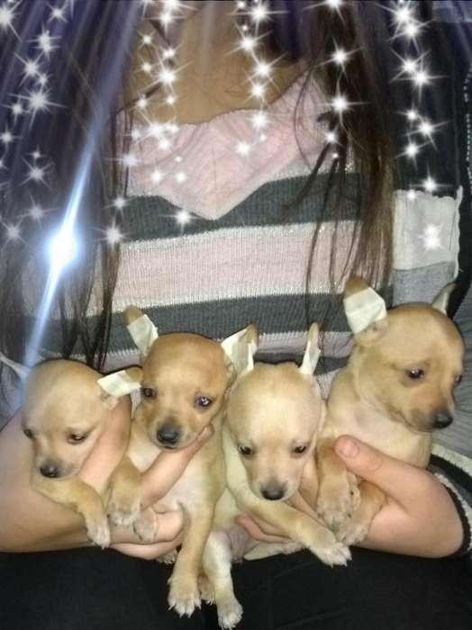 Chihuahuas Mini de Bolsillo
