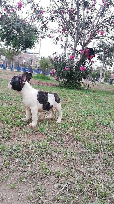 Preciosos Cachorritos Bulldog Francés