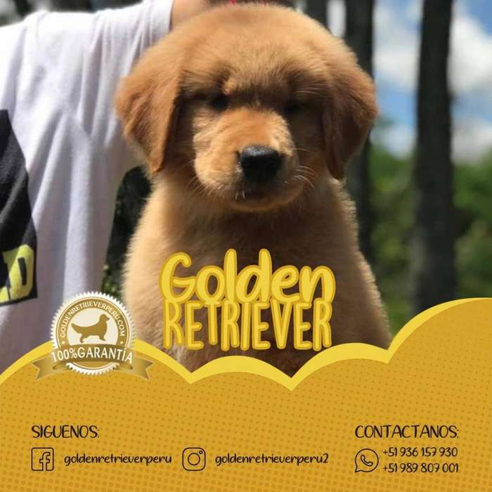 CACHORROS GOLDEN RETRIEVER OFICIAL PERU