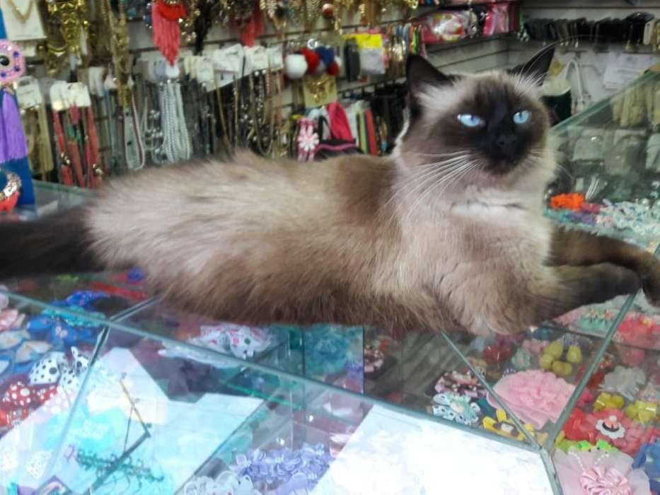 Vendo <strong>gatitos</strong> Siameses de Dos Meses