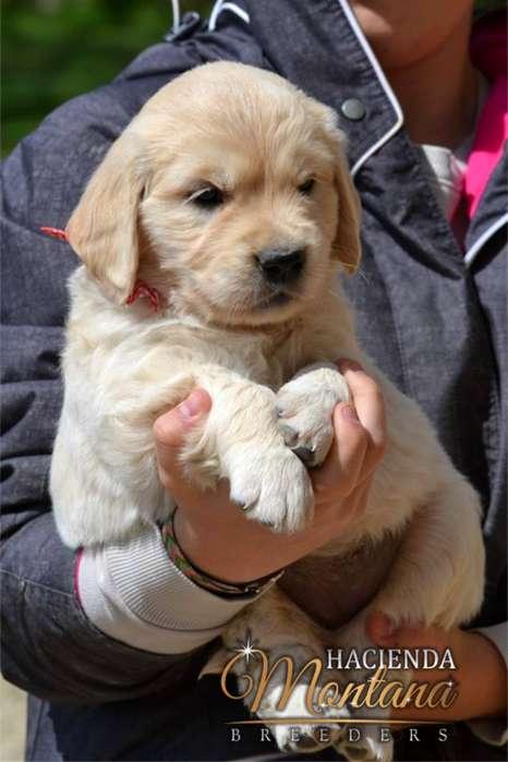 VENTA DE <strong>cachorro</strong>S GOLDEN RETRIEVER EN ARMENIA