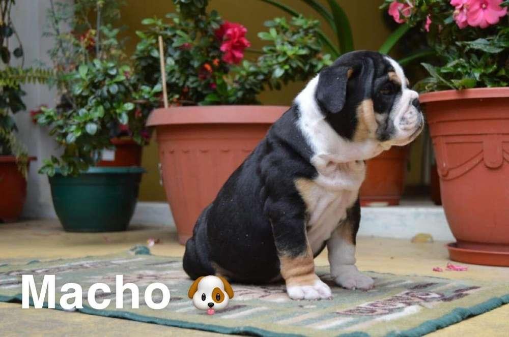Vendo Cachorros <strong>bulldog</strong> de Calidad.