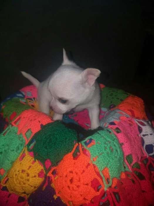Mini Chihuahuas Garantizados en Venta