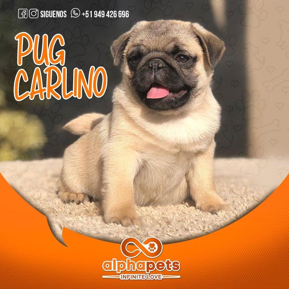 CACHORROS PUG CARLINO A1 DE ALTO NIVEL GENETICO ALPHA PETS PERÚ