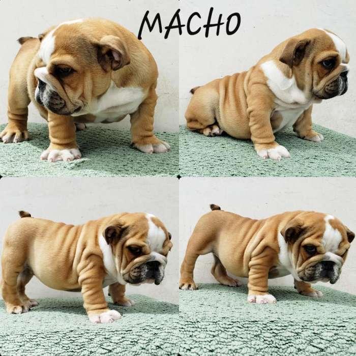 <strong>cachorro</strong>s Bulldog Ingles