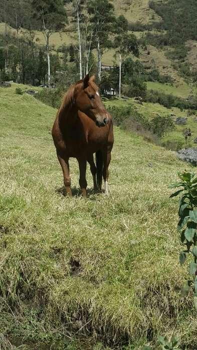 Vendo <strong>caballo</strong> Anglo Arabe