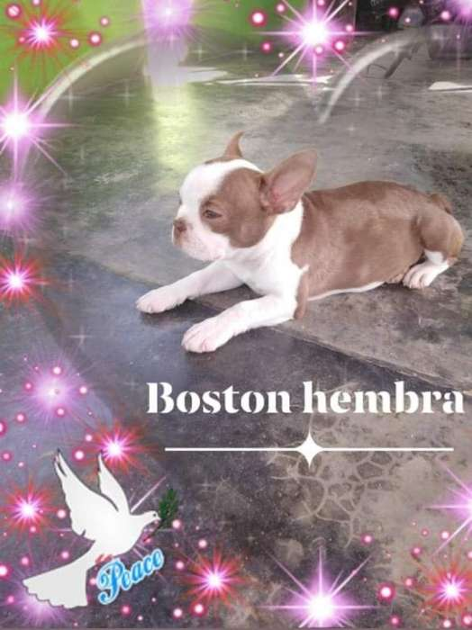 Hermosa Boston <strong>terrier</strong>