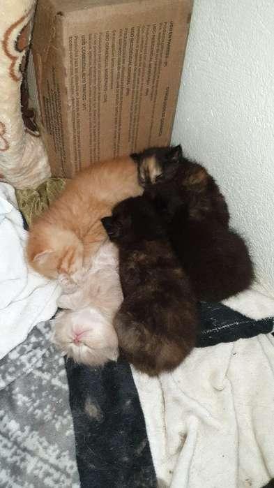 Venta de Gatos Persas.