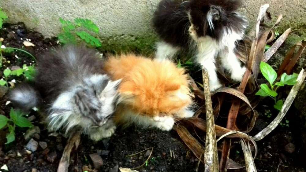 Vendo Excelentes Gatos Persa .gatos.gata