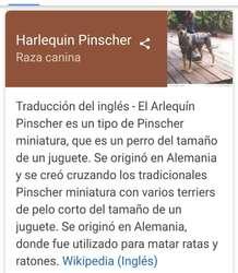 Pincher Harlequin Merle Originales