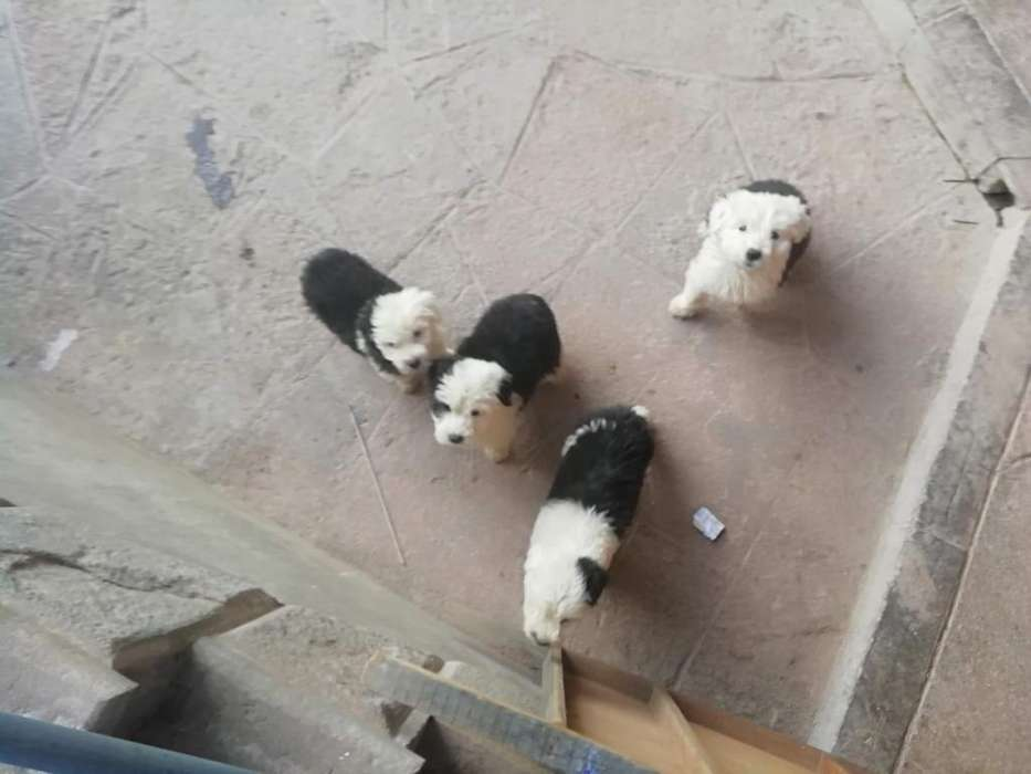 Cachorros pastor ingles