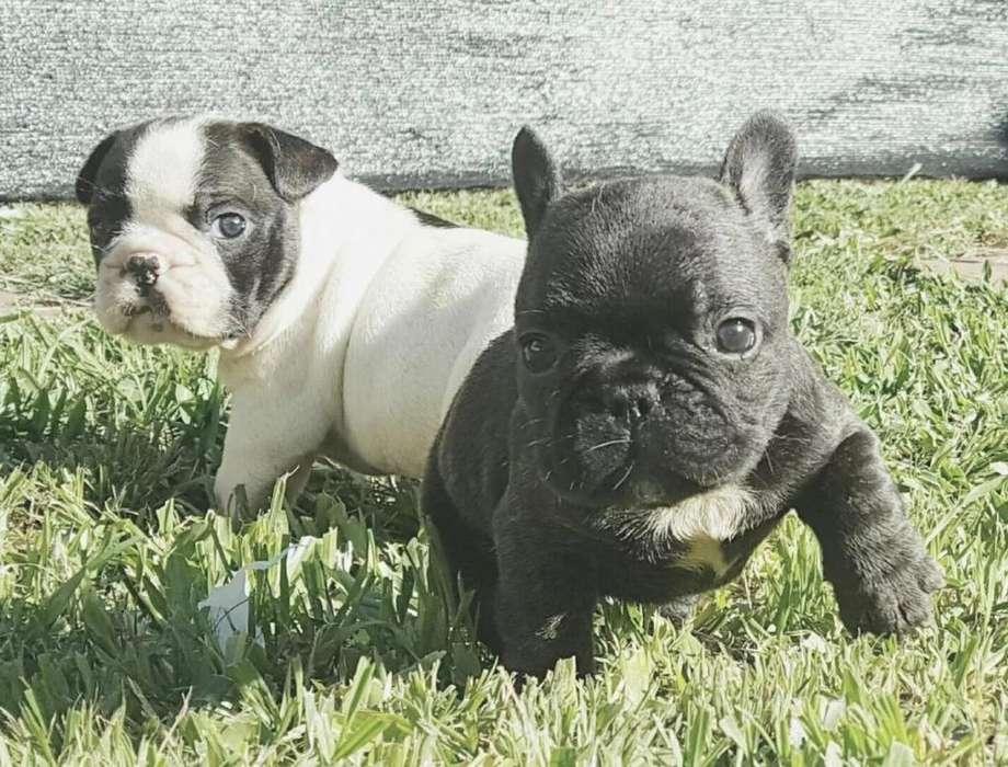 Los más lindos Bulldog Francés Vaquita Vacunados Papeles Fca Hermosos !!