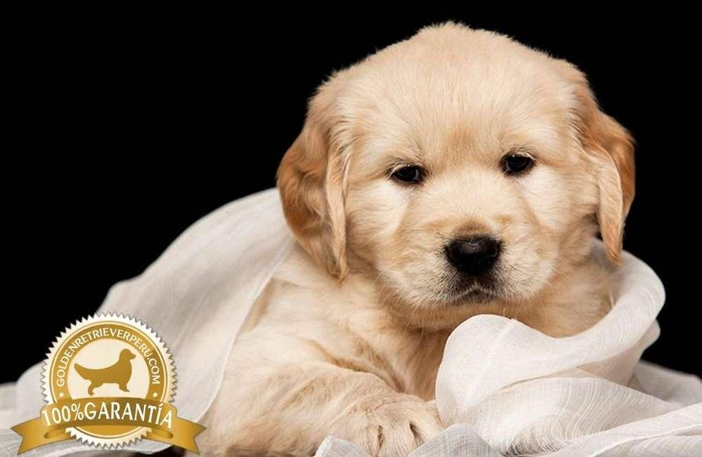 EXCLUSIVOS <strong>cachorro</strong>S GOLDEN RETRIEVER SELECCIONADOS A1 CAMADA 2019