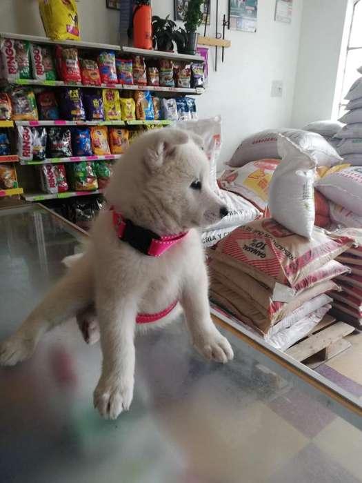 Se Vende Hermosa Cachorra Loba Samoyedo