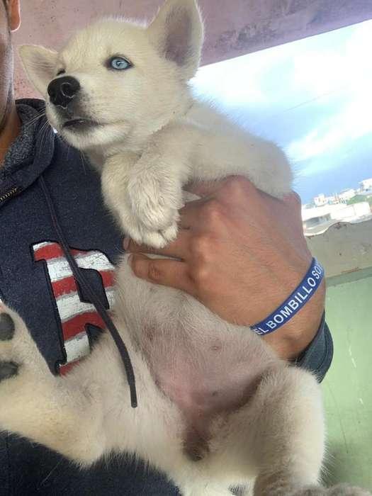 Husky Siberiano Samoyedo