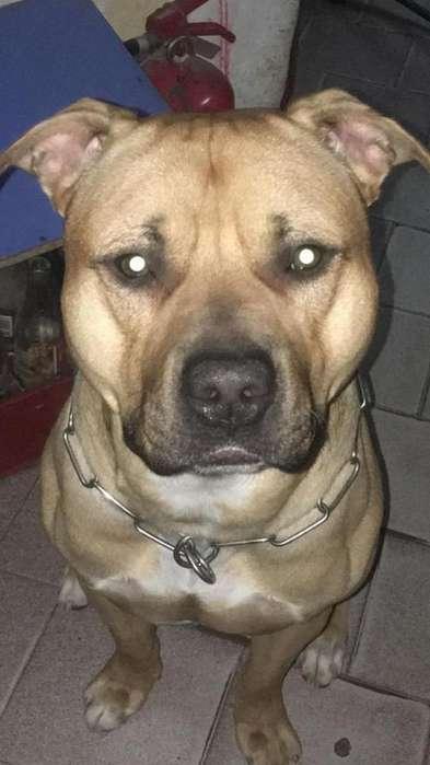 Vendo Cachorros Pitbull!!!