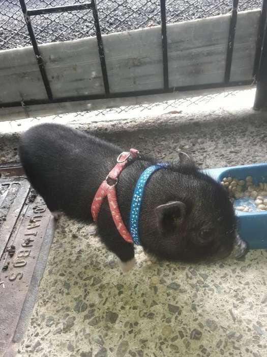 Se Vende Cerdita Mini Pig
