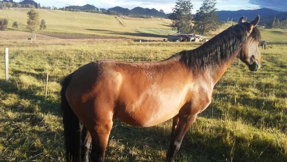 <strong>caballo</strong> Alanza de 6 Años Y Medio