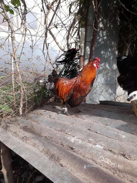 gallos pigmeos jovenes