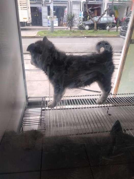 Cachorro Ciberiano