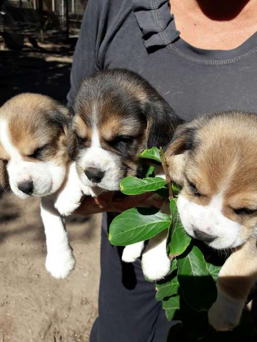 Vendo Cachorros Beagles Tricolor..!!!