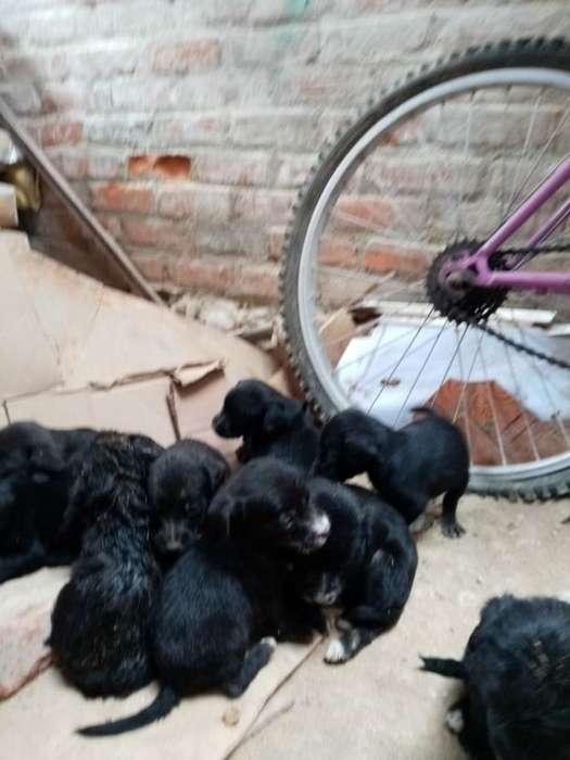 Perros Labradore Negros