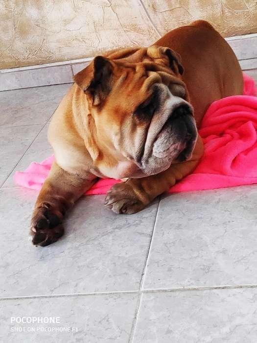 Ofrezco Monta de Este <strong>bulldog</strong> Inglés
