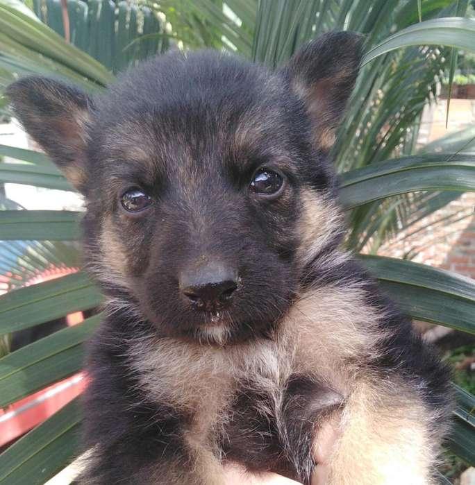 Vendo Cachorras Pastor Alemán