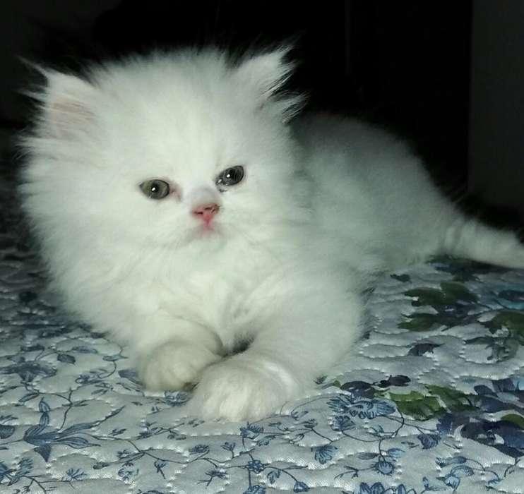 Persa Gatos Blancos Ojos Azules