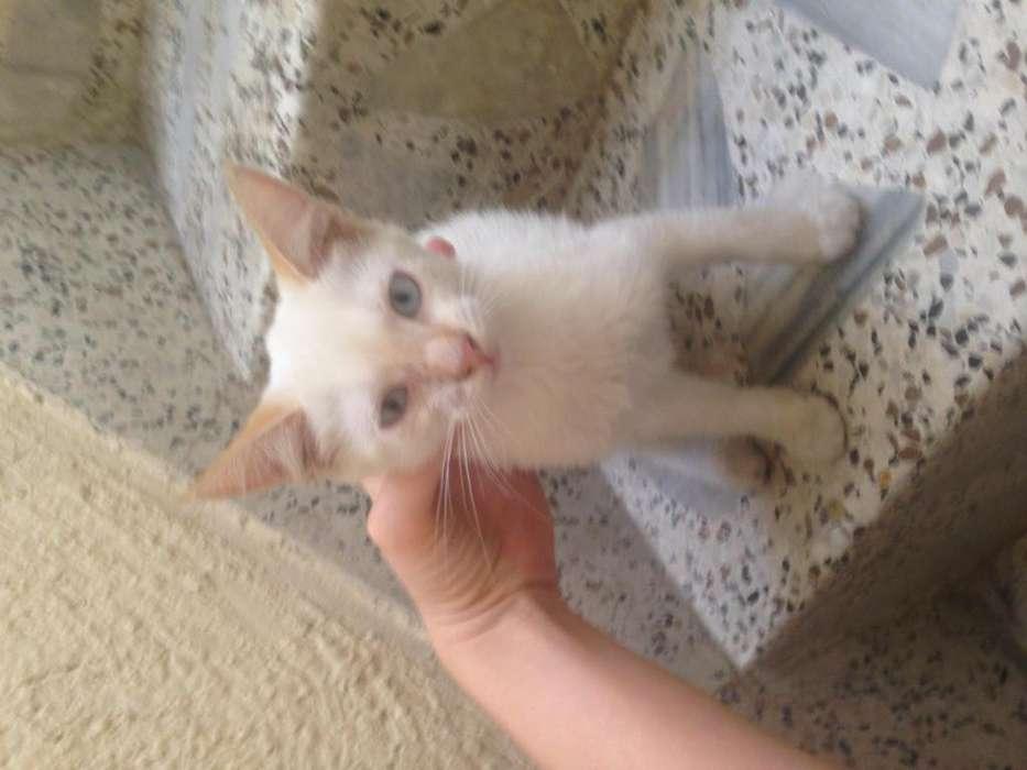 Gatico blanco de ojos azules