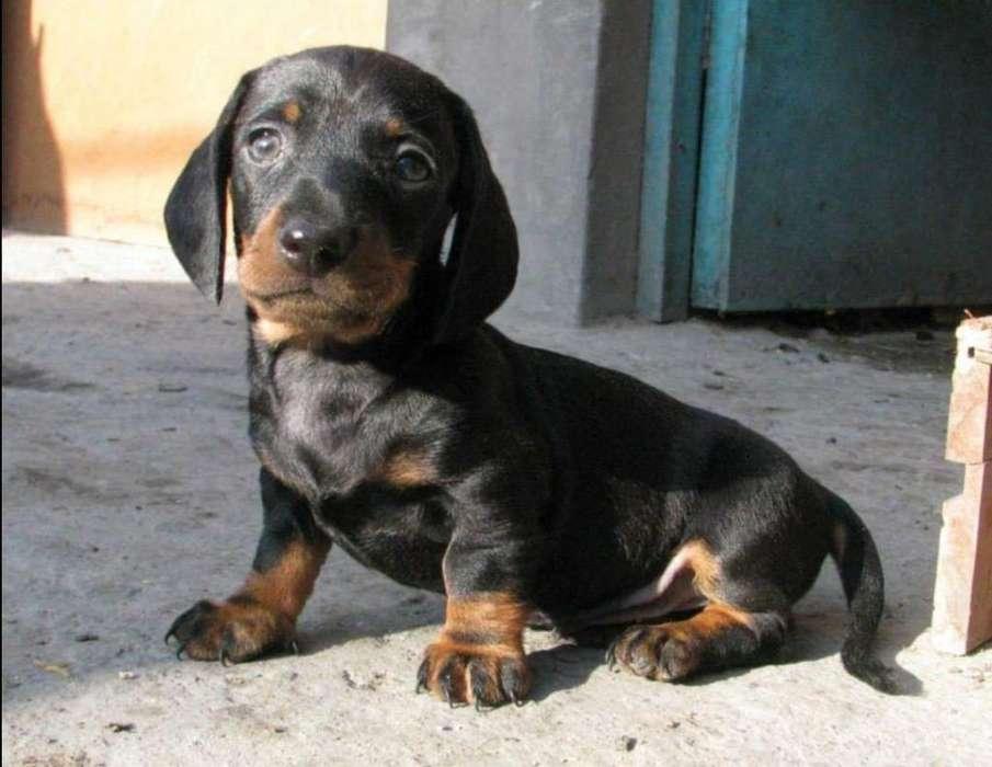 Cachorros salchicha teckel mini pedigree de los padres a la vista