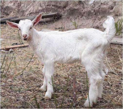 <strong>cabras</strong> o Chivos Machos De Raza Saanen de 1 mes y medio