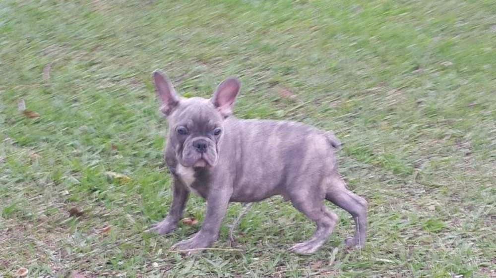 <strong>bulldog</strong> frances macho bluebrindle hermoso listo para entregar