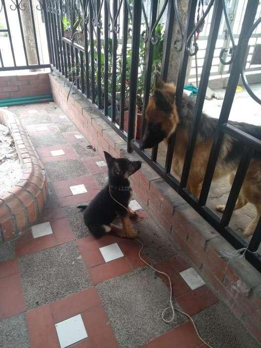 Vendo Perro Pastor Aleman de 2 Meses