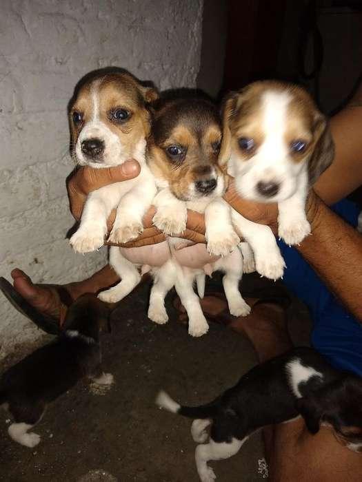 Lindos <strong>beagle</strong>