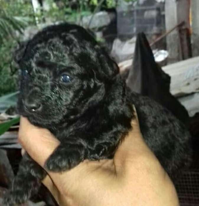 Vendo Excelente Cachorro Frech Poodler