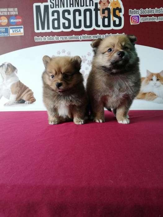 Pomeranias Lulú Buenas Mascotas