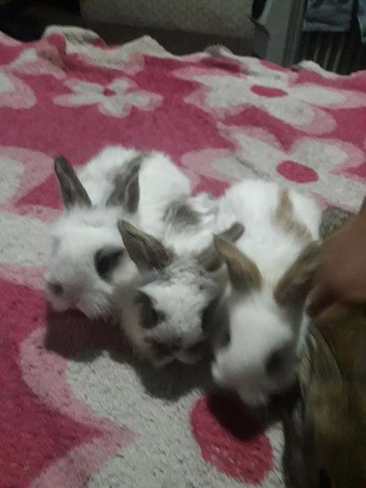 Conejos San Fernando