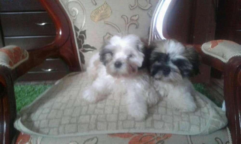 Venta de <strong>perros</strong> Chitzu