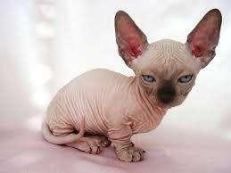 gato egipcio exfinge gato sin pelo cachorros raza de gato exotica