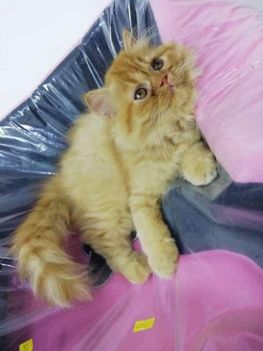 Hermosos Gatos Persa dos meses de edad