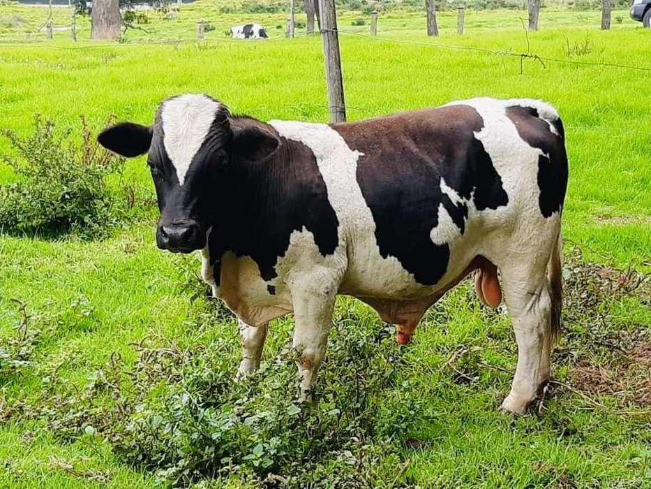 Toro Y Vacas Miniatura