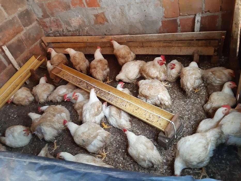 VENTA <strong>pollos</strong> DE ENGORDE CASEROS!!