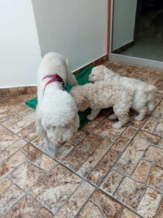 Remato <strong>cachorro</strong>s Poodle por Viaje