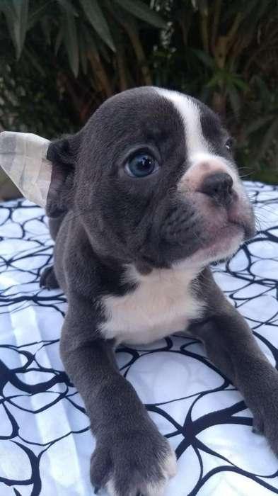 Bulldog Frances Blue Macho