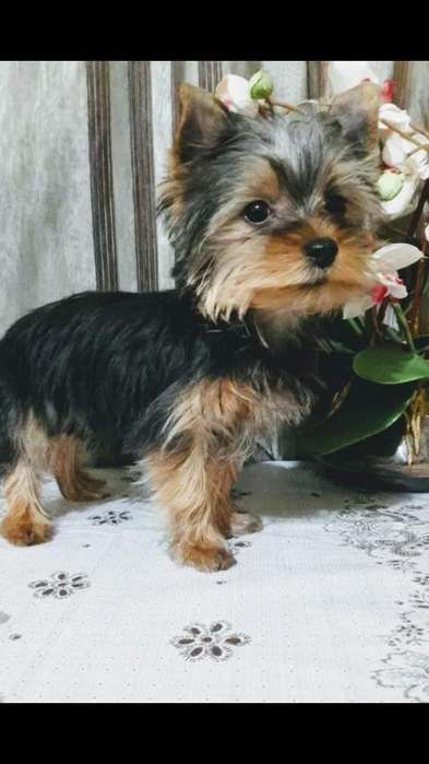 Yorkshire Terrier Ambos Sexos Disponible