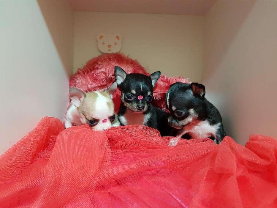 Chihuahuas Tarjeta 12 Cuotas