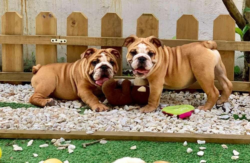 Excelentes <strong>bulldog</strong> Ingles