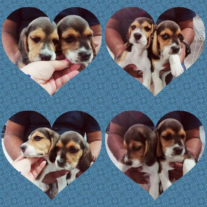<strong>beagle</strong> Tricolorhembras